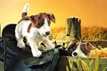 Folkmanis Tier-Handpuppe Jack Russel Terrier